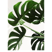 Wonderhagen Plakat Monstera